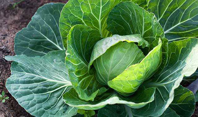 Close up image of cabbage.