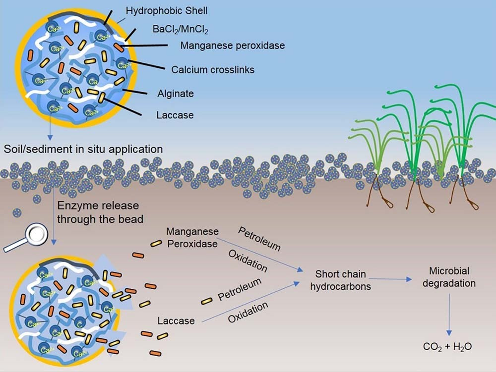 graphic showing how a naturally occurring microbe could help with environmental contamination
